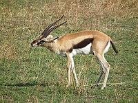 Antelope - Simple English Wikipedia, the free encyclopedia