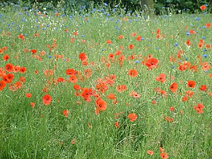 English: Poppies and cornflowers in Jubilee Park.