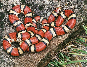 Red milk snake (Lampropeltis triangulum syspil...