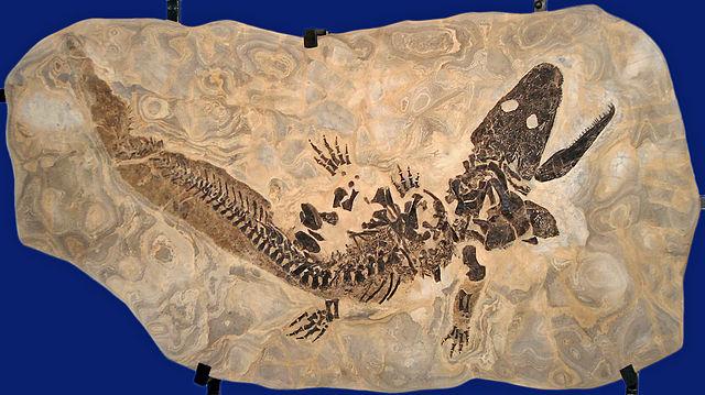 File Sclerocephalus Haeuseri Original Fossil Jpg