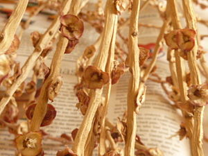 English: P. dactylifera twigs once the fruit i...