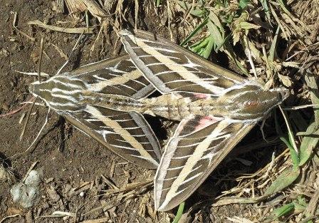 File:White-lined sphinx moths mating.jpg