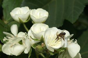 Dombeya acutangula Apis mellifera3