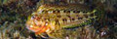 Scartella cristata 25-09-07 DSCF1035.jpg