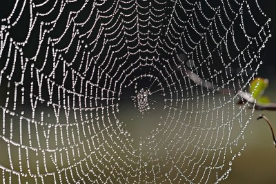 Fil:Spider web with dew drops04.jpg