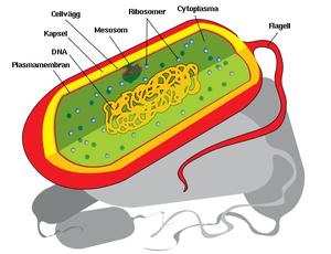 Prokaryot