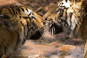 2 Bengal tigers