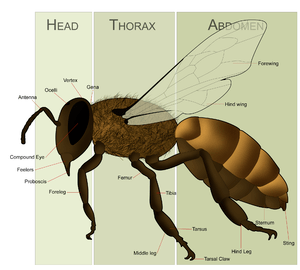 English: Female Honey Bee Morphology for the a...