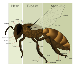 Female Honey Bee Morphology for the article on...