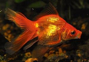 English: The Red Goldfish in Aquarium. Русский...