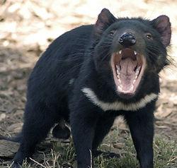 Seekor Setan Tasmania jantan.