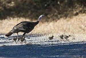 Wild Turkey (Meleagris gallopavo) and eight Chicks