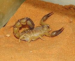 Androctonus australis 01.JPG