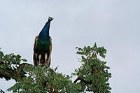 طاووس روی درخت
