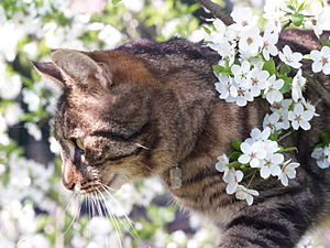 English: Striped cat in the cherry plum flower...