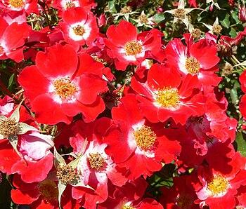 Rosa 'Eyepaint' at the San Jose Heritage Rose ...
