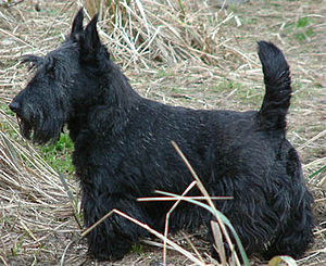 English: Picture of a Scottish Terrier taken b...