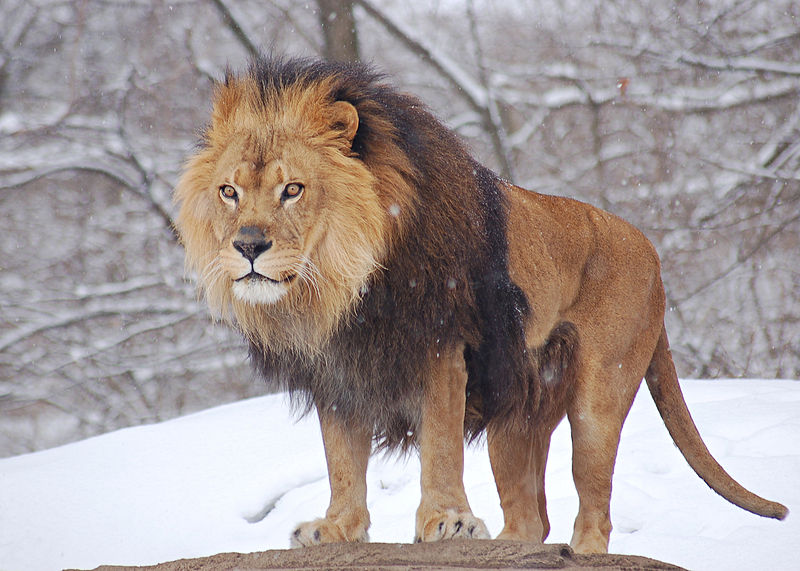 male zoo lion in winter