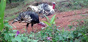 English: a male and female domestic turkey
