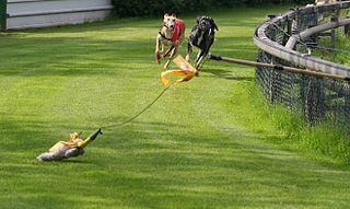 Greyhounds chasing lure