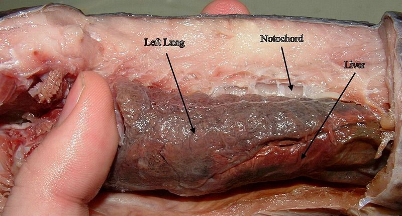 File:Lungs of Protopterus dolloi.JPG