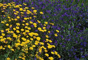 Wild flowers in a disturbed ground: Coleosteph...