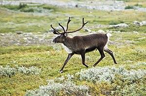 Strolling reindeer (Rangifer tarandus) in the ...
