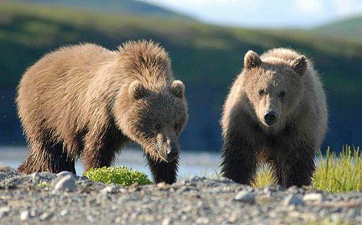 Bears Alaska (3)
