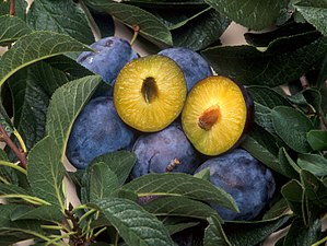 Plums that have been genetically engineered to...
