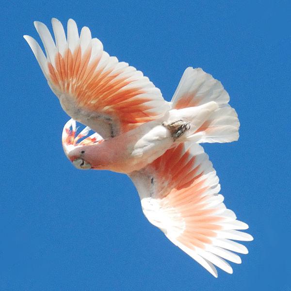 File:Cacatua leadbeateri -flying -Australia Zoo-8-2cr.jpg