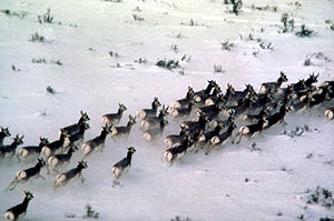 Herd of pronghorns