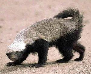 Honey badgers were the inspiration for the kil...