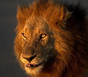 Wild lion in Kruger National Park, South Africa