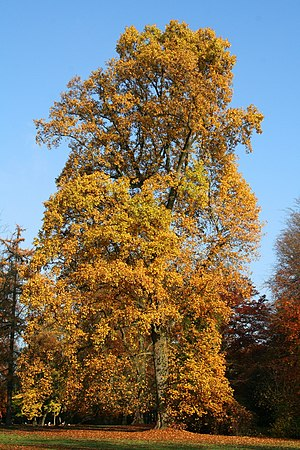American tulip tree , tulip poplar or yellow p...