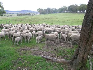 Superfine wool Merino ewes and lambs, Walcha, NSW.