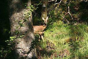 English: Woodland, Taynish Peninsula I was wal...