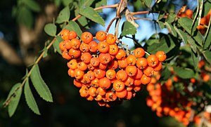 Sorbus americana English: Fruit of American Mo...