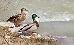 """The Mallard, the archetypal """"wild duck&qu..."""