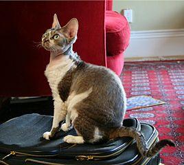 Photo of a Devon Rex cat