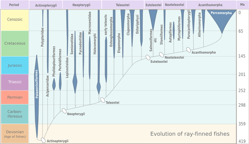File:Evolution of ray-finned fish.png