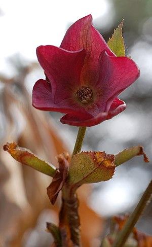 Lenten Rose Helleborus orientalis or Helleboru...