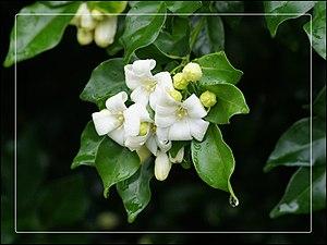 Murraya paniculata Family: Rutaceae Widely cul...