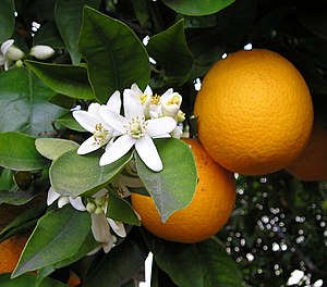 English: Orange blossom and oranges. Taken by ...