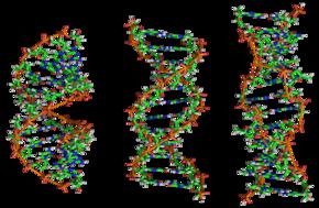 De izquierda a derecha, las estructuras de ADN A, B y Z
