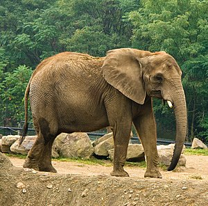 African Elephant (Loxodonta africana) in Pitts...