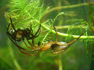 Pair of Diving bell spiders (♀ left, ♂ right),...