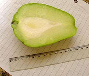Cutaway picture of Chayote - Taken by J. Stolf...