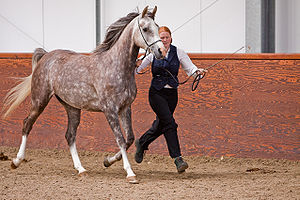 Grey Arabian horse SRGAHS - June 09 Group Show...