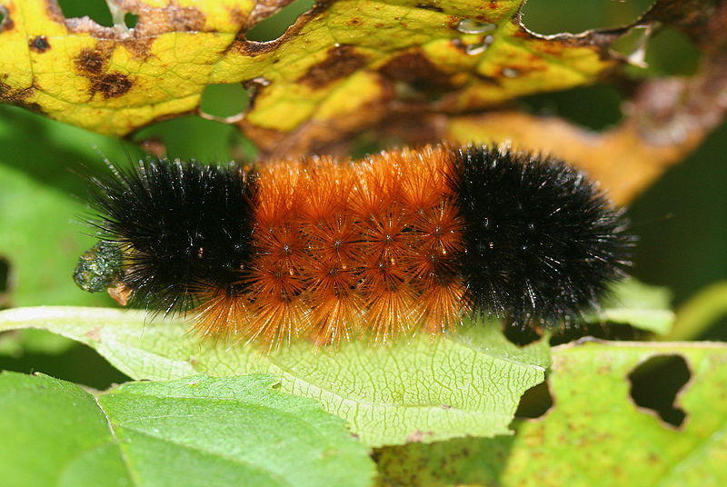 Wolly bear (Pyrrharctia isabella) caterpillar