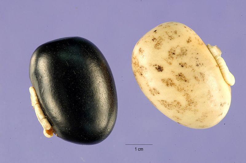 File:Mucuna-pruriens-seeds.jpg
